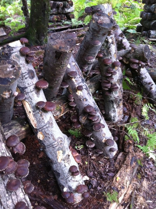 Shiitake Mushrooms As A Farm And Forest Enterprise Vermont For Evolution