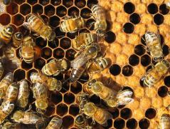 Colony Collapse Disorder CCD honeybees pesticides vermont agriculture sustainability